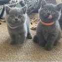 British Shorthair Kittens ready to go now-2