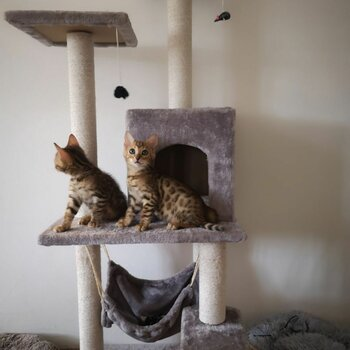 Pure Breed Bengal Kittens (Male)