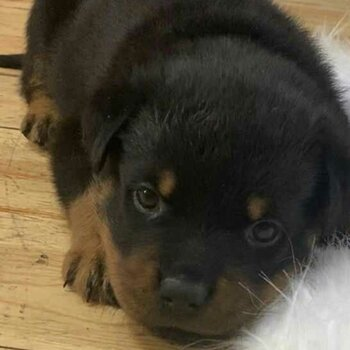 Cute dark rottweiler puppy for your home