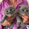 British Shorthair Kittens ready to go now-1