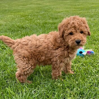 Chunky Goldendoodles Puppies