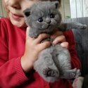 British Shorthair Kittens ready to go now-4